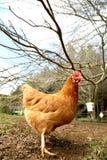 Poule rouge Images libres de droits