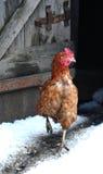 Poule sur une basse-cour Photo libre de droits