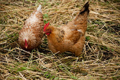 Poules Images stock