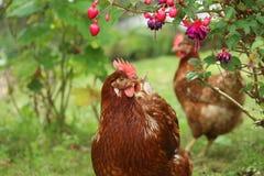 poules photos libres de droits