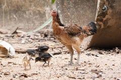 poules Photo libre de droits
