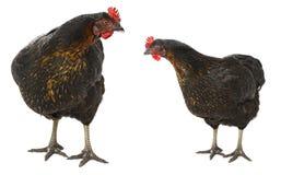 poules Photo stock