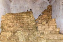 Poules au-dessus du dessus Photographie stock libre de droits