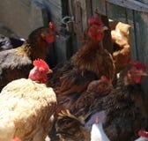 poules avec la crête rouge sur la tête Photos stock