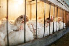 Poules dans la cage Photos libres de droits