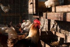 Poules dans le poulailler Photographie stock libre de droits