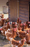 Poules de Brown Image stock
