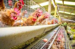 Poules de ferme avicole et oeufs, volière photo stock