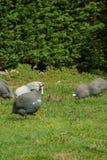 Poules de Guinée gratuites frôlant dans les terres cultivables photos stock