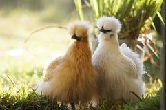 Poules de Silkie Images libres de droits