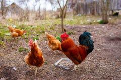 Poules domestiques et coq rouges mangeant des grains et recherchant le ver photos stock