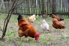 Poules et coq Images libres de droits