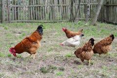 Poules et coq Image stock