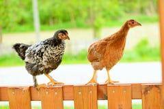 Poules et poulets Images libres de droits