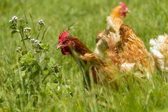 Poules libres frôlant le jour ensoleillé organique d'herbe verte d'oeufs photographie stock