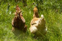 Poules libres frôlant le jour organique du soleil d'herbe verte d'oeufs photo stock