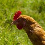 Poules libres frôlant le jour organique du soleil d'herbe verte d'oeufs photographie stock libre de droits