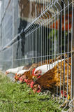 Poules mangeant l'herbe Photographie stock