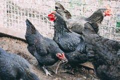 Poules noires Photographie stock
