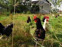Poules noires et blanches dans le jardin regardant sur moi Photo stock