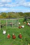 Poules près de leur maison de poule Images libres de droits