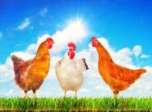 Poules se tenant sur une herbe verte contre le ciel ensoleillé Photographie stock