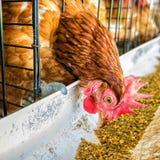 poulet Images libres de droits