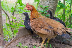 poulet Photographie stock