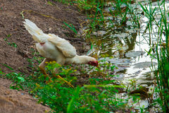 poulet Photo libre de droits