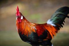 poulet Photos libres de droits