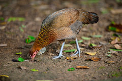 poulet Photos stock