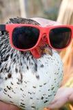 Poulet avec des lunettes de soleil en fonction. Images stock