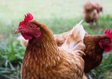 Poulet avec la crête rouge et un beau plumage brun images stock