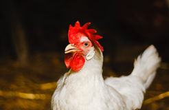 Poulet blanc regardant hors de la grange photo stock