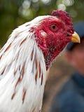 Poulet blanc thaïlandais avec la tête rouge photographie stock libre de droits