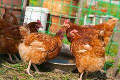 Poulet brun vivant Images libres de droits