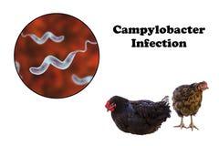 Poulet comme source d'infection de campylobactérie Image stock