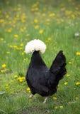 Poulet crêté blanc de polonais de noir marchant loin images stock