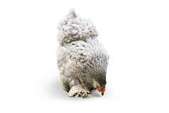Poulet d'oiseau de poule sur le blanc Images libres de droits