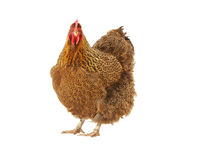 Poulet d'Orpington d'isolement Photographie stock