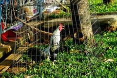 Poulet dans la cage Photos stock