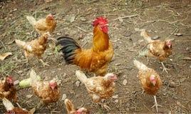 Poulet dans la ferme Photo libre de droits