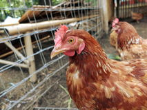 Poulet dans la ferme locale Photographie stock libre de droits