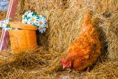 Poulet dans le foin, l'agriculture et la volaille photo stock