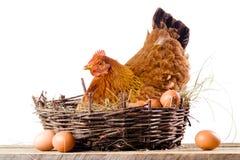 Poulet dans le nid avec des oeufs d'isolement sur le blanc Images stock