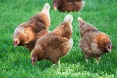 Poulet dans une aviculture gratuite traditionnelle de gamme Photo libre de droits