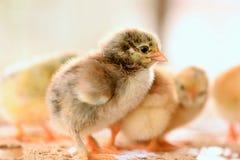 Poulet de bébé Photo libre de droits