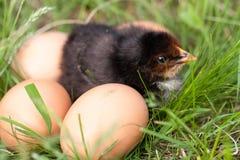 Poulet de bébé avec des oeufs dans l'herbe verte Photographie stock libre de droits