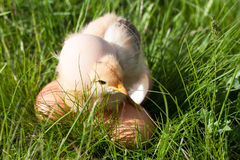 Poulet de bébé avec des oeufs dans l'herbe verte Images libres de droits