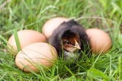 Poulet de bébé avec des oeufs dans l'herbe verte Image stock